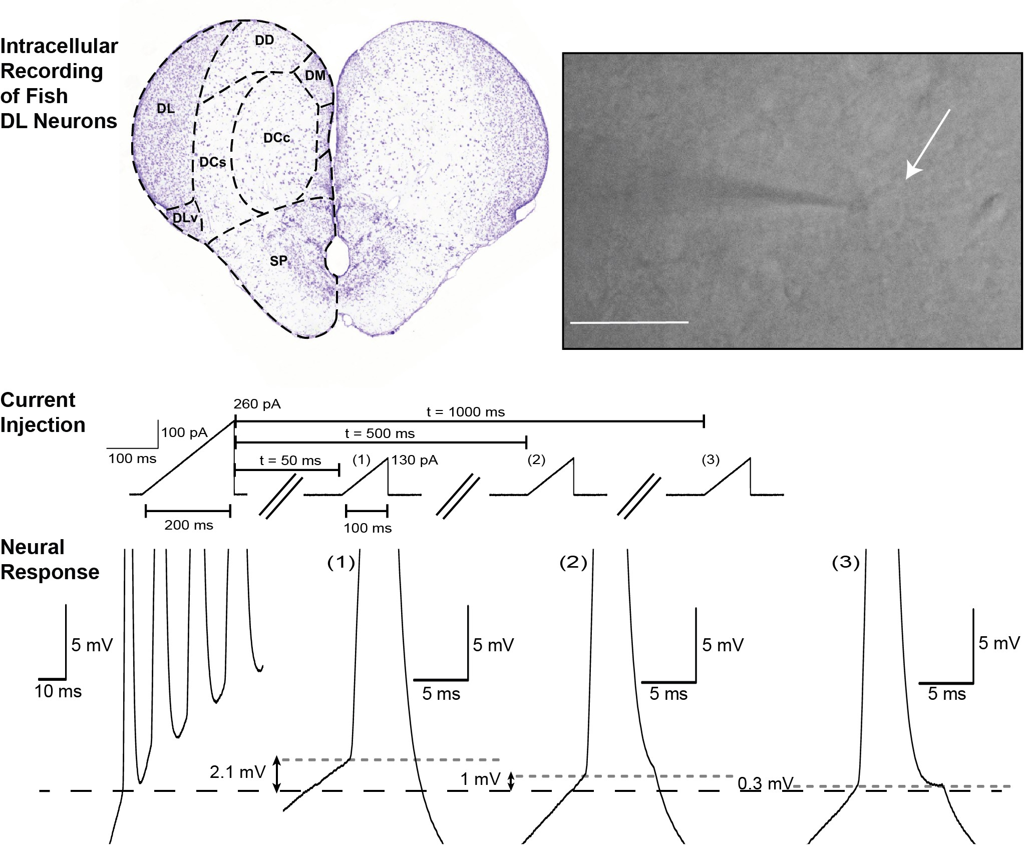 Intracellular recording of DL neurons (adapted from Figs. 1 and 9 from Trinh et al., 2019, eNeuro).