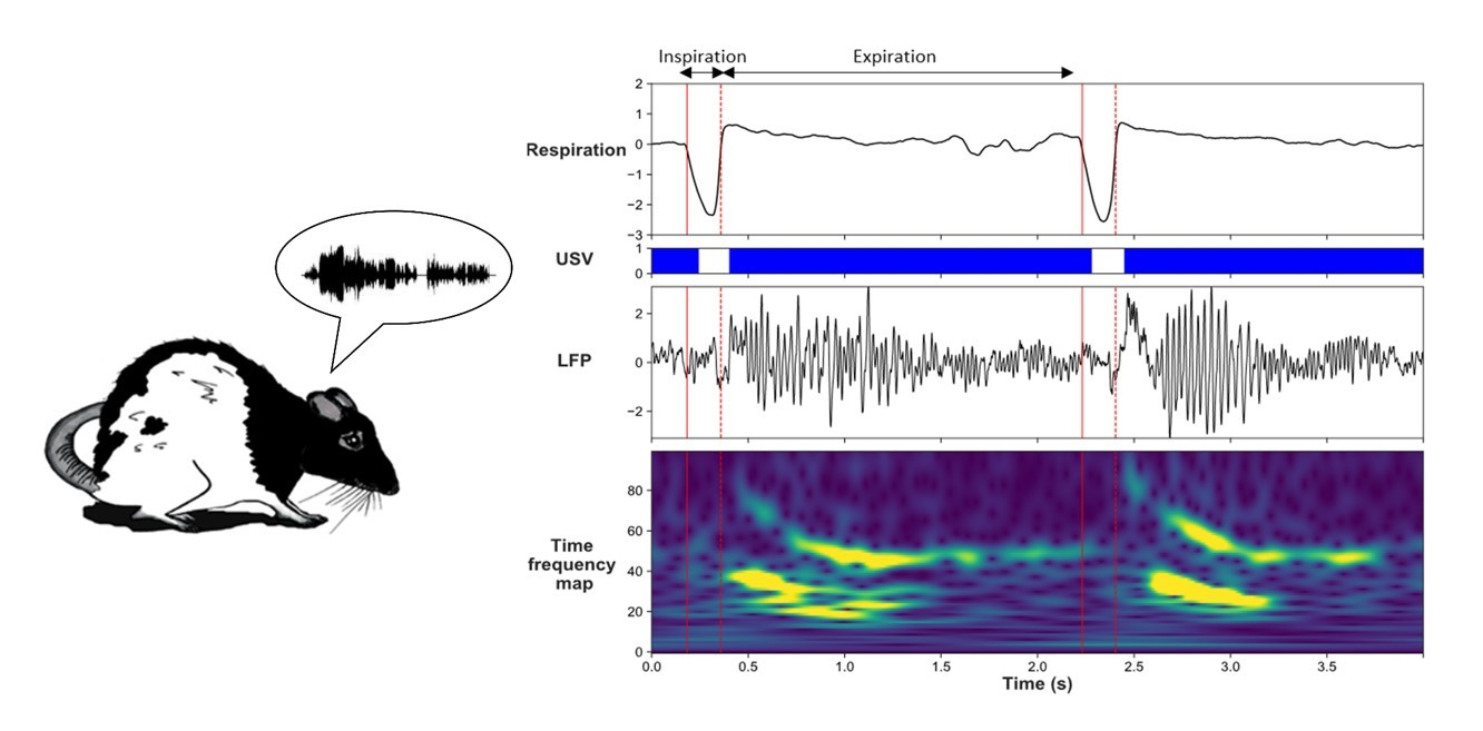 Figure 1. During USV, oscillatory activities in the neural network supporting fear behavior are strongly modified. These changes are accompanied by a loss of frequency coupling between breathing rhythm and brain slow oscillatory activity. These data suggest USV emission may trigger a differential gating of information within the fear neural network, thus potentially modulating fear expression and/or memory. (Visual abstract from Dupin et al. 2019.)