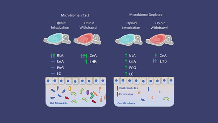 Figure 1: Microbiome depletion alters how the brain responds to opioids. Microbiome intact animals in the intoxication state (left) exhibited increases in neuronal recruitment (green arrows) in the basolateral amygdala (BLA), while the central amygdala (CeA), periaqueductal gray (PAG), and locus coeruleus (LC) do not exhibit increases (blue dash) compared to control animals. During withdrawal, microbiome intact animals exhibit increased recruitment of the CeA and lateral habenula (LHB) compared to control animals.  Microbiome depleted animals (right) exhibit a reduction of recruitment in the BLA, and increases in the CeA, PAG, and LC in the intoxication state compared to intact animals. Additionally, microbiome depleted animals in the withdrawal state exhibit a decrease in the CeA and an increase in recruitment in the Lateral Habenula (LHB) compared to intact animals.
