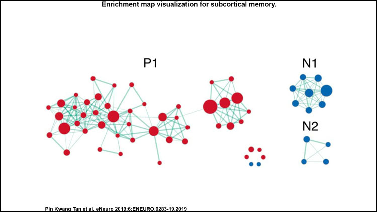 Enrichment map visualization for subcortical memory. Clusters are labeled with P for positive, N for negative.