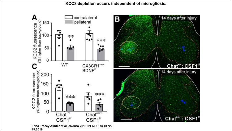 This image shoes the relative KCC2 depletion in WT and CX3CR1 BDNF KO animals 14 d after cut/ligation. Genotype had no effect on KCC2 levels in motoneurons contralateral or ipsilateral to injury. Removing BDNF from microglia had no impact on KCC2 expression. Lumbar spinal cord sections from animals expressing normal CSF1 and with CSF1 removed from motoneurons 14 d after ligation. ChatIREScre/+: : csf1f/f animals exhibit normal microgliosis in the dorsal horn but have the microglial reaction to injury greatly attenuated in the ventral horn compared to ChatI+/+: : csf1f/f. KCC2 immunofluorescence 14 d after sciatic ligation in csf1f/f animals. Preventing microgliosis in the ventral horn had no impact on KCC2 within intact or injured motoneurons. Error bars = SEM; **p ≤ 0.01, ***p ≤ 0.001.