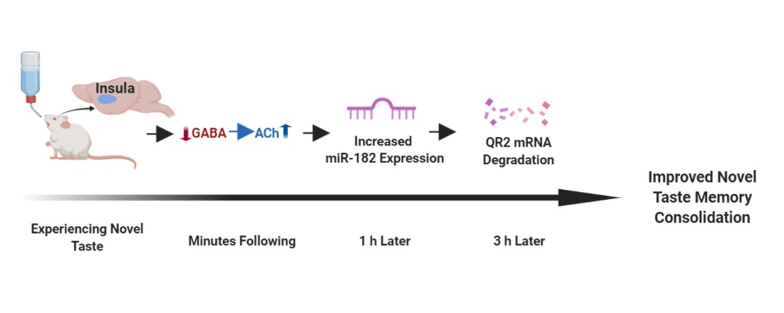 Increased miR-182 Expression in the aIC Reduces Local QR2 mRNA Levels and Improves Novel Taste Learning. Gould, N.L. et al. eNeuro.0067-20.2020 (2020).