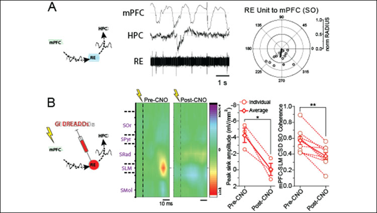 A. Nucleus reuniens units are phasically coupled to mPFC activity and fire preferentially at the trough of slow oscillations. B. Chemogenetic inhibition of the RE abolishes an HPC sink evoked by PFC stimulation and significantly decreases coherence between PFC and HPC at slow oscillatory frequencies.