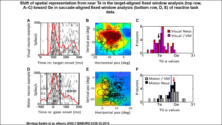 Shift of spatial representation from near Te in the target-aligned fixed window analysis toward Ge in saccade-aligned fixed window analysis of reactive task data. Each row shows the raster/spike density plot and best fit RF for an example neuron, followed the distribution of T-G α values of full population.